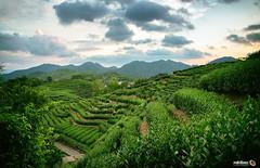 Teafields at Dusk (Andy Brandl (PhotonMix.com)) Tags: landscape nikon photonmix teafields greentea bushes rows teacultivation china zhejiang hangzhou longjing tranquility mountains sky greenery clouds