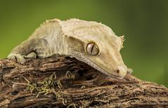 Gordon Gecko