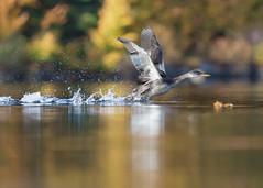 Grèbe jougris - Podiceps grisegena - Red-necked Grebe (Anthony Fontaine photographe animalier) Tags: