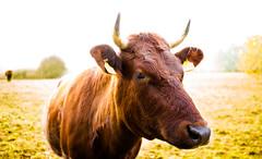 Good Moooorniiiiinnnnnnng (--Conrad-N--) Tags: farm cow morning autumn brown