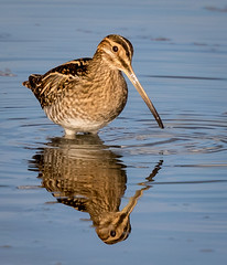 Snipe (ianjoseph273) Tags: snipe water upton warren flashes worcestershire wildlife trust wychbold