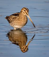 Snipe (ianjoseph273) Tags: snipe water upton warren flashes worcestershire wildlife trust wychbold