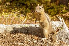 20161008-NX4A3888 (PPWBLisa) Tags: bearlake colorado goldenmantledgroundsquirrel rockymountainnationalpark vacation estespark unitedstates