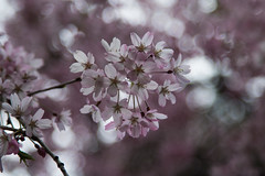 IMG_0649 (gsreejith) Tags: spring springblossom blossom flowers breenholdgardens mountwilson mtwilson nsw visitnsw