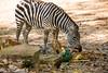 _MGL2894.jpg (shutterbugdancer) Tags: whitecheekedgibbon gorilla jackie rasha bowie fred africanlion westernlowlandgorilla zebra elephant asianelephant gracie bluebonnet elmo belle fortworthzoo gus winifred nubianibex booatthezoo