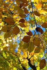 autumn leaves (RysiekLL) Tags: pentax k50 da35ltd autumn colors jesie kolory las forest buk beech da35macrolimited