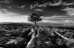 The Winskill tree (images@twiston) Tags: thewinskilltree alone hawthorn tree thelimestonetree winskillstones winskill stones scar dales national park solitarytree lone solitary limestone pavement grikes clints blue sky clouds northyorkshire yorkshire limestonepavement lonetree bleak stark fell rock rocks gnarled gnarly 3peaks yorkshire3peaks whernside ingleborough landscape white cloud yorkshiredalesnationalpark fields grass moors moorland moor langcliffe imagestwiston classicdales late summer early evening godsowncountry ribblesdale farm farmland hoya polarizer cpl wideangle wide angle ultrawide bw mono blackandwhite noirblanc monochrome