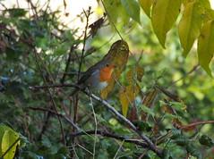Robin.... Erithacus rubecula (quarzonero ...Aldo A...) Tags: robin pettirosso bird nature natura rougegorge erithacusrubecula leaves branches feuilles coth