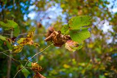 272:365 - 10/14/2016 - Fall Leaves (Shardayyy) Tags: 365 365project project365 nikon d800 potd photoaday 35mm shardayyyphotography shardayyyyphotographycom