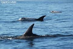 Golfinhos do Risso / Rissos Dolphins (Grampus griseus) - Sagres, Portugal (Cape Cruiser Sagres) Tags: capecruiser costavicentina cetceos cetacean capesaintvincent capestvincent algarve actividadesdenatureza ambiente biodiversidade barcos dolphinwatching dolphin delfines dolphins delphinidae environment sea reserva free golfinho golfinhos golfinhosdorisso grampusgriseus grampos grampus sagres sagreswildlife odontoceti moleiro biodiversity vidaselvagem vicentinacoast liberdade marinelife mar mamferomarinho marinemammal marinebiologist nature naturetourism natureza natureactivities naturewatcher ocean oceano observaodegolfinhos portugal parquenaturaldosudoestealentejanoecostavicentina parquenatural rissosdolphins turismodenatureza turismodanatureza vidamarinha vidaselvagemdesagres outono autumm rissosdolphin