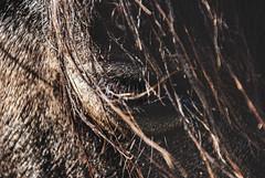 Black Beauty. (Veroniiika B) Tags: horse blackhorse blackbeauty animals freedom landscape details macro eyelashes hair black dark