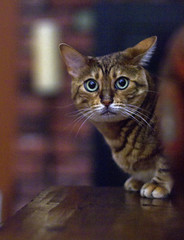Nadia At Night (Boneil Photography) Tags: boneilphotography brendanoneil townsend ma m43 microfourthirds panasonic dmcg10 m42 screwmount fujinon 50mmf14 f14 wideopen handheld cat pet nadia