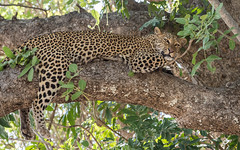 Leopard (tickspics ) Tags: africa africanleopard pantherapardus southluangwa zambia luangwavalley