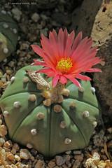 IMG_4007a copy (l.e.violett) Tags: nature flora cacti cultivated flower astrophytum asterias nudum