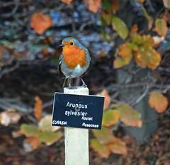 Goat's Beard (Bricheno) Tags: bricheno scotland escocia schottland cosse scozia esccia szkocja scoia    glasgow westend botanic botanical botanics botanicgarden botanicgardens bird robin