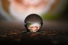 Rosie glow (Mazzlo) Tags: macromonday macro nikon d5500 rose flower peach backlit droplet refraction