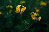 Remember the summer? (Petr Horak) Tags: blooming blossom closeup floriculture flower macro meadow photography plant weed novýknín středočeskýkraj czechia cze