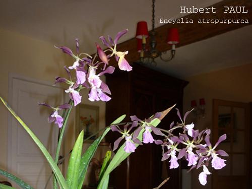 Hubert PAUL - Encyclia atropurpurea-2 copie