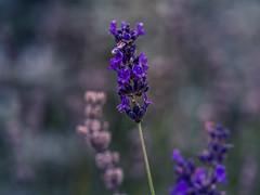 Last bit of lavender for this year...... (Unni Henning) Tags: lavender warwickshire england purple garden macro closeup bush nature autumn bokeh