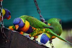 Lorikeet Aviary (martie1swart) Tags: montecasinobirdgardens birds animals southafrica lorikeet aviary colourful eating lorikeets