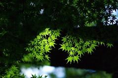 Still green (usotuki) Tags: 横浜 三渓園 葉 紅葉 もみじ 緑 yokohamasankeiengarden nature vegetation green maple autumnleaves autumncolors pentaxk7 callzeissplanar1485zk