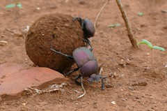Large Copper Dung Beetles (Kheper nigroaeneus) couple (female on the side) rolling a pill of elephant dung ... (berniedup) Tags: lowersabie kruger largecopperdungbeetle khepernigroaeneus dungbeetle taxonomy:binomial=khepernigroaeneus insect scarabaeidae beetle