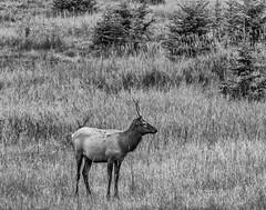 K56A9524-Edit (paulaf55) Tags: animal canada canadianrockies elk lakeminnewanka monochrome