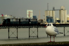 Black Headed Gull in Hythe (Hythe Eye) Tags: hythe hampshire southamptonwater winter blackheadedgullpierpiertrain docks