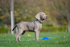 Jeune Weimar (Mystycat =^..^=) Tags: braquedeweimar weimaraner greyghost chien dog perro hund chiot puppy