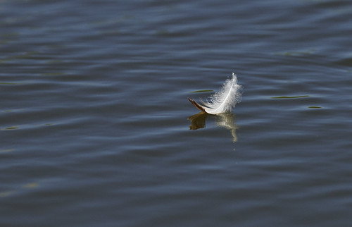Feather on water 1c