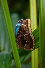 2016-10-19_14-58-20 (dans_photos) Tags: 2016 morpho nationalbotanicgardenofwales october southwales wales amazonian butterfly