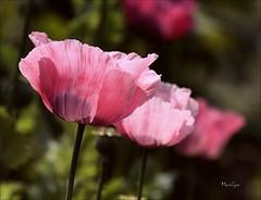 Opium dans le ciel (Bouteillerie) Tags: flower green floral fleur rose fleurs canon garden jardin t botanique horticulture extrieur aot environnement pavot closion ptales agricole vgtal languageofflowers languageofflower bouteillerie