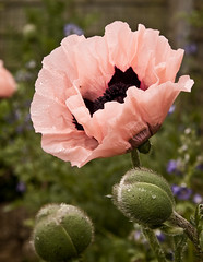 New Born (maureen bracewell) Tags: flowers summer flower home garden poppies raindrops orientalpoppies saariysqualitypictures