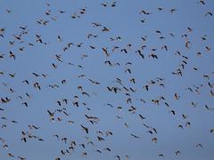 Flock of Sandgrouses - Part 2 (jaffles) Tags: holiday nature beautiful southafrica wildlife natur olympus safari np kalahari ktp südafrika transfrontier