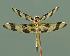 a lady Halloween (Vicki's Nature) Tags: female canon georgia wings dragonfly stripes ngc symmetry spots harmony s5 0448 twocolors halloweenpennant vickisnature