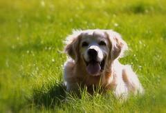 Monday Face (SpitMcGee) Tags: autumn dog walk herbst duke explore hund 69 unfortunately spaziergang notmydog mondayface spitmcgee bedauerlicherweise