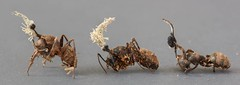 Ophiocordyceps unilateralis grp. with hyperparasite