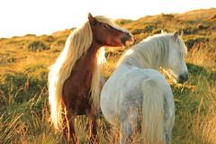 464A0380 (Cilmeri) Tags: horses nature animals wales ponies snowdonia wildponies wildhorses equine feral gwynedd eryri trawsfynydd feralponies plantecheval planethorse