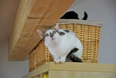 Nelli on Shelf (frankbehrens) Tags: cats cat chats chat gatos gato katze katzen kater
