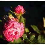 frosty rose