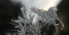 Dandelion frost (jilllian2) Tags: morning frost dandelion almostwinter olloclip iphone6s