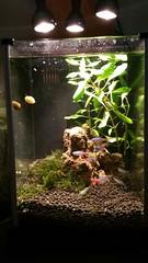 20151019_163340 (mobile_gnome) Tags: ikea aquarium led nano freshwater stratum planted ghostshrimp neontetra ludwigia fluval fluvalspec