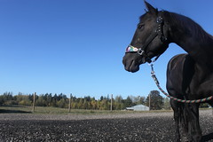 Beauty and Peace (natasha.flanery) Tags: blue sky horse black beauty country dramatic grace calm approved drama equine