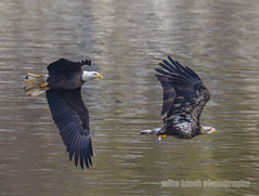 Bald Eagle chases Juvenile w Fish (Mike Black photography) Tags: blue white black bird mike nature water canon flying eagle dam birding feathers bald maryland raptor conowing