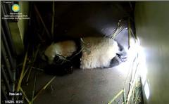 Bei-Maybe a light box will help strengthen my legs (partipersian) Tags: pandas meixiang pandacub beibei