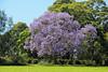 Jacaranda (iansand) Tags: purple mauve jacaranda rhodes
