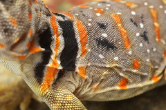 Eastern Collared Lizard, Juvenile (kaptainkory) Tags: usa baby closeup pattern ar skin reptile unitedstatesofamerica young lizard scales collar eastern juvenile herp collard eurekasprings squamata squamate lizardcrotaphytuscollaris