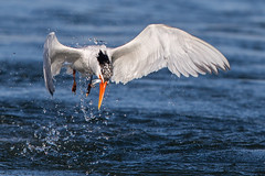 Elegant Tern (OC Birds) Tags: california wild bird nature animal canon wildlife birdsinflight elegant tern huntingtonbeach avian bolsachica eleganttern