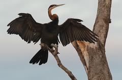African darter (Lluniau Clog) Tags: nest kenya darter weaverbird greatriftvalley anhingarufa lakebaringo africandarter