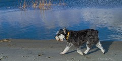 Casual Walking (Pep's Hiking Team) Tags: lake nature landscapes nikon scenery schnauzer northdakota 2015 minischnauzer traildog d3200 wildernessdogs adventuresniffer